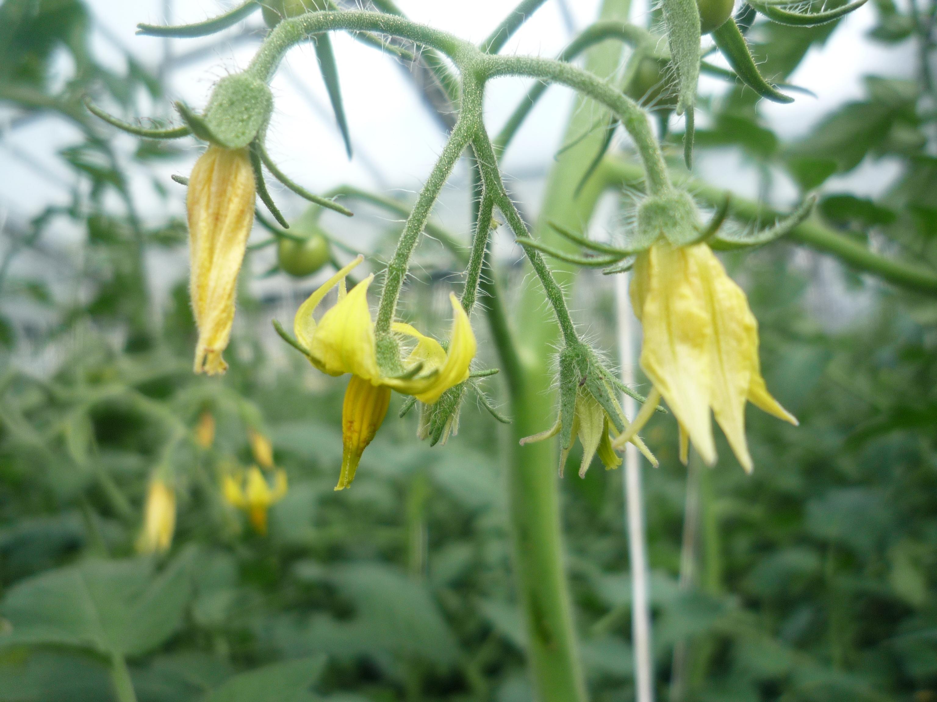 Hummel Biss-Stelle an einer offenen Blüte