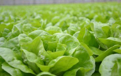 Salate aus unseren Gewächshäusern