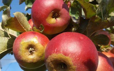 Frostschäden an den neuen Äpfeln