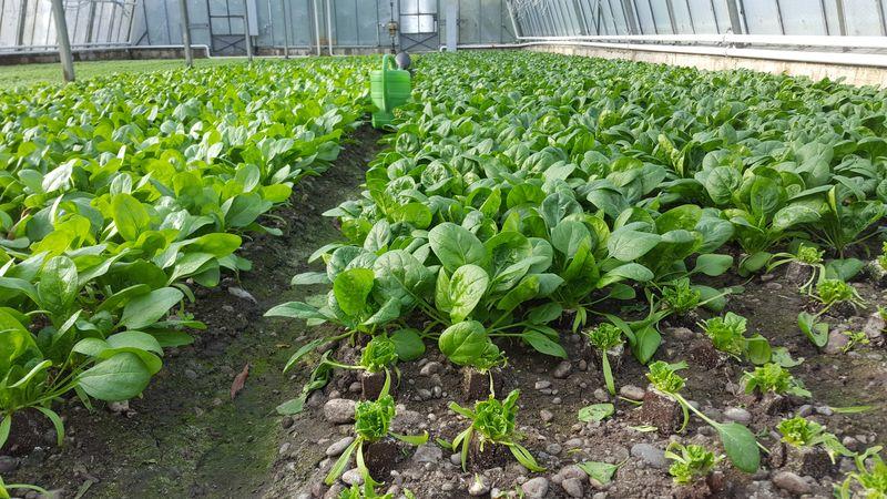 Baby-Spinat aus der eigenen Gärtnerei