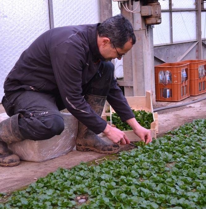 Feldsalaternte – viel Handarbeit